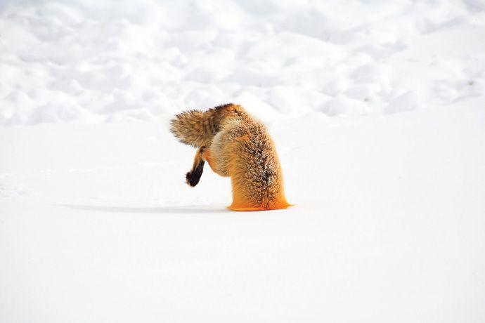 Подборка лучших фото дикой природы за 2008 год, лиса