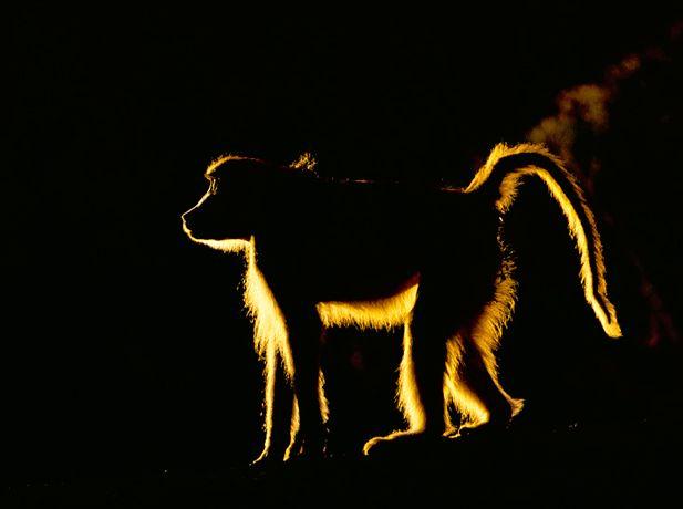 Подборка лучших фото дикой природы за 2008 год, обезьяна
