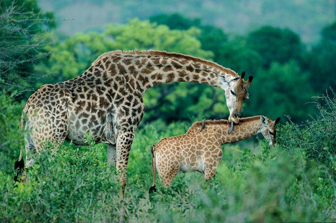 Подборка лучших фото дикой природы за 2008 год, жирафы
