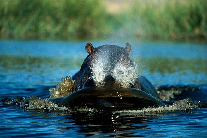 Подборка лучших фото дикой природы за 2008 год бегемотик
