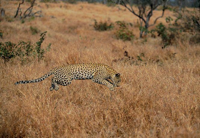 Подборка лучших фото дикой природы за 2008 год, гепард