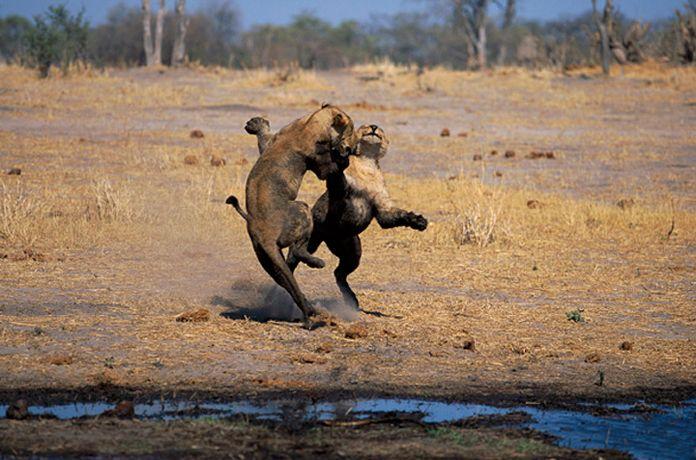 Подборка лучших фото дикой природы за 2008 год, львята играют