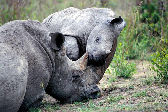 Подборка лучших фото дикой природы за 2008 год, носороги
