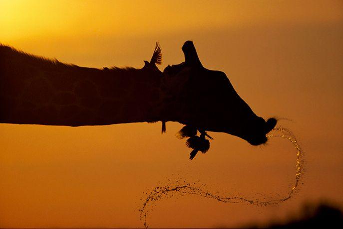 Подборка лучших фото дикой природы за 2008 год, жираф