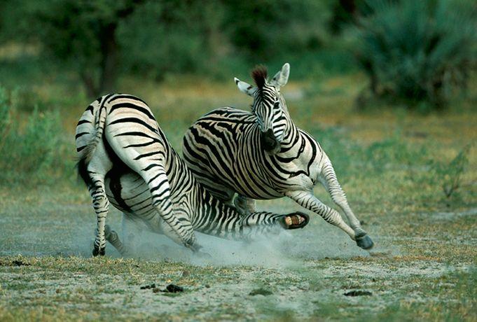 Подборка лучших фото дикой природы за 2008 год, зебры