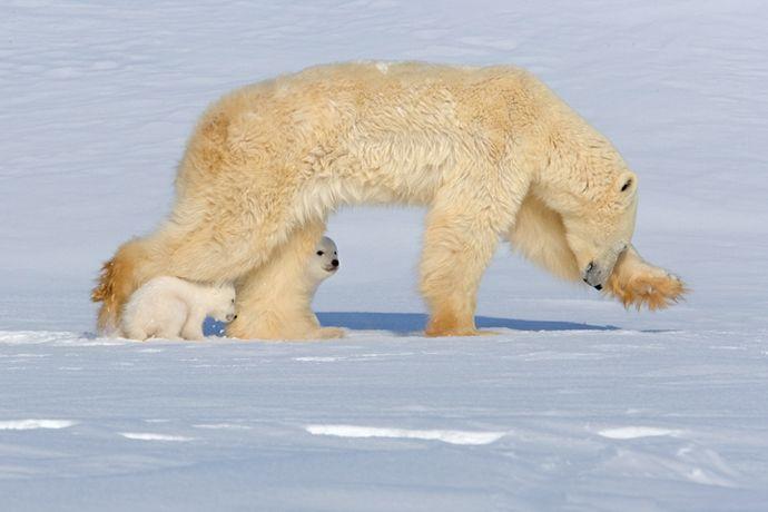 Подборка лучших фото дикой природы за 2008 год, белые медведи