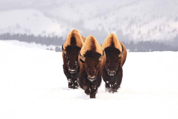 Подборка лучших фото дикой природы за 2008 год, зубры